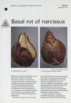 Basal Rot of Narcissus