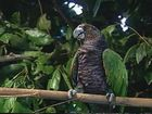 Caribbean Eye, Caribbean Eye footage – Dominica 1 – Sisserou Parrot
